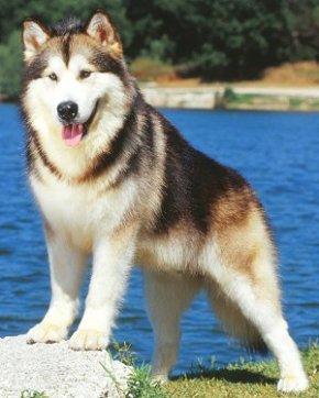 anjing_alaskan-malamute