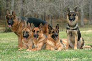 anjing_german-shepherd