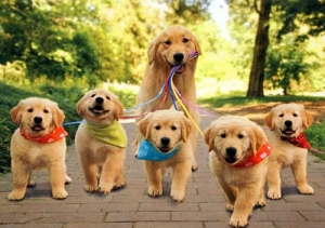 anjing_golden-retriever