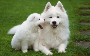 anjing_samoyed