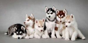 anjing_siberian-husky